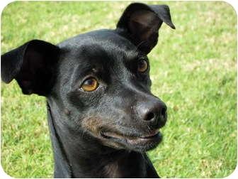 Chihuahua Dog for adoption in El Cajon, California - Jack