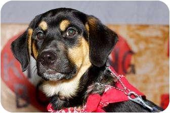 Rottweiler/Labrador Retriever Mix Puppy for adoption in Spruce Grove, Alberta - Chandler