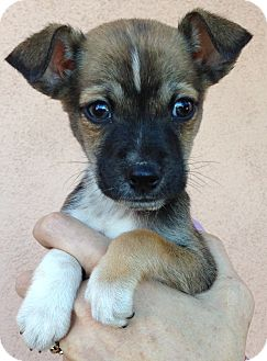 Chihuahua Puppy for adoption in Thousand Oaks, California - Donny