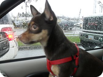 Miniature Pinscher/Chihuahua Mix Dog for adoption in Vancouver, British Columbia - Xena