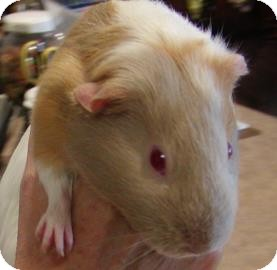Guinea Pig for adoption in Jackson, Michigan - Hillary