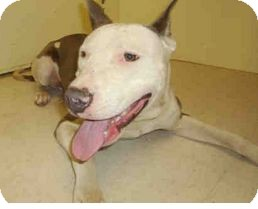 American Pit Bull Terrier Mix Dog for adoption in Yuba City, California - 05/30 Unnamed