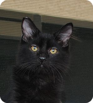 Domestic Mediumhair Kitten for adoption in Palmdale, California - Yoshi