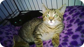 Domestic Shorthair Kitten for adoption in Speonk, New York - Roman