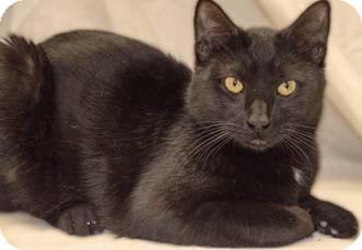 Domestic Shorthair Cat for adoption in Merrifield, Virginia - Klaus
