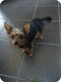 Yorkie, Yorkshire Terrier Mix Dog for adoption in Livonia, Michigan - Cinnamon