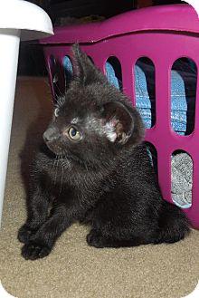 Domestic Shorthair Kitten for adoption in HILLSBORO, Oregon - Coalette