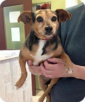 Rat Terrier Dog for adoption in Newburgh, Indiana - Diva