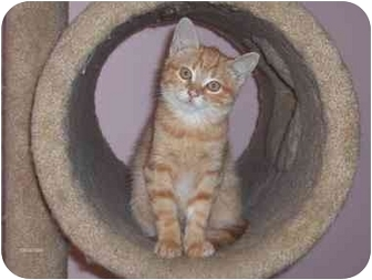 Domestic Shorthair Kitten for adoption in Burlington, Ontario - Lola