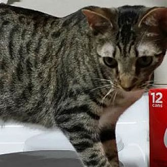 Domestic Shorthair Cat for adoption in Kennedale, Texas - Georgie