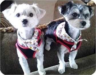 Maltese/Yorkie, Yorkshire Terrier Mix Dog for adoption in Palm City, Florida - The Morkie Sisters