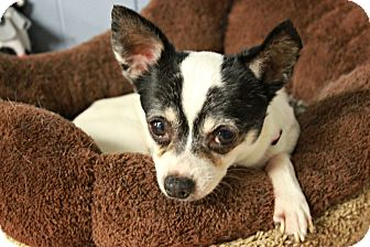 Chihuahua Dog for adoption in New Richmond,, Wisconsin - Bandit