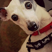 Italian Greyhound Dog for adoption in Richardson, Texas - Annie
