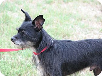 Terrier (Unknown Type, Small)/Chihuahua Mix Dog for adoption in Westwood, New Jersey - Scooter