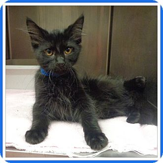 Domestic Shorthair Kitten for adoption in Marietta, Georgia - THAD - available 8/5