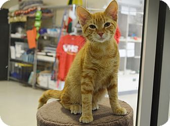 Domestic Shorthair Cat for adoption in Evansville, Indiana - Hiwassee