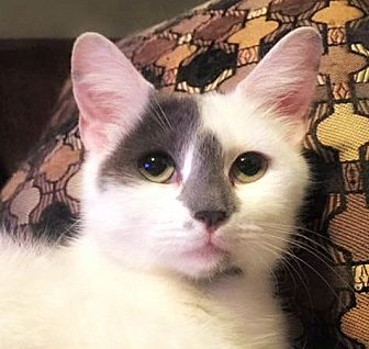 Domestic Mediumhair Cat for adoption in Burlington, North Carolina - JEAN