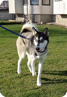 Husky Mix Dog for adoption in Winnipeg, Manitoba - LULU
