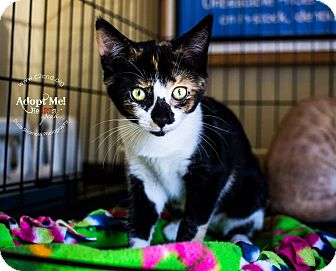 Calico Kitten for adoption in Charlotte, North Carolina - A..  Crayola