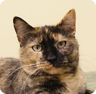 Domestic Shorthair Cat for adoption in Dundee, Michigan - Maggie - Foster-to-adopt
