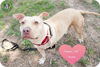 Pit Bull Terrier Mix Dog for adoption in Hartford, Connecticut - Rose