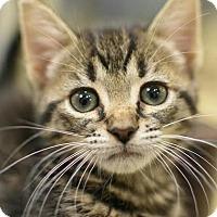 Adopt A Pet :: Kitara - Aiken, SC