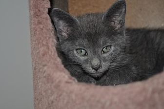Domestic Shorthair Cat for adoption in Berlin, Maryland - Allie Alamo