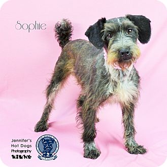 Schnauzer (Miniature) Mix Dog for adoption in Tomball, Texas - Sophie