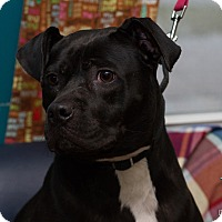 Pit Bull Terrier Mix Dog for adoption in Evansville, Indiana - Betty