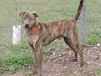Labrador Retriever/Mixed Breed (Medium) Mix Dog for adoption in Cottonport, Louisiana - Patches