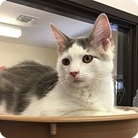 Adopt A Pet :: Kitten Miso - Seal Beach, CA