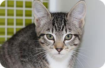 Domestic Mediumhair Kitten for adoption in Meridian, Idaho - Scotty