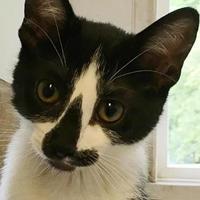 Adopt A Pet :: Merlot - Manchester, MO