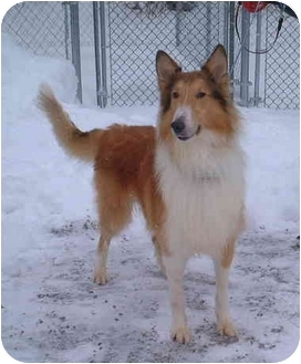 Collie Dog for adoption in Honesdale, Pennsylvania - Rex