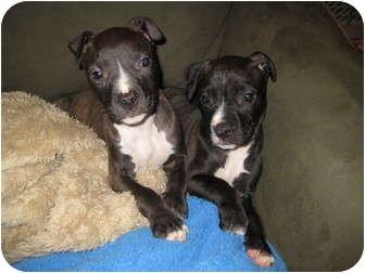 American Pit Bull Terrier/American Pit Bull Terrier Mix Puppy for adoption in Worcester, Massachusetts - Venus