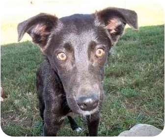 Border Collie/Schipperke Mix Puppy for adoption in Independence, Kansas - Socks