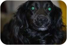 Cavalier King Charles Spaniel/Brittany Mix Dog for adoption in Waterbury, Connecticut - Gordon