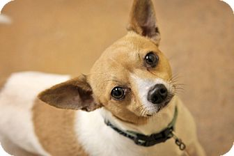 Chihuahua Dog for adoption in Salamanca, New York - Diezel-Cute tiny little Chi!