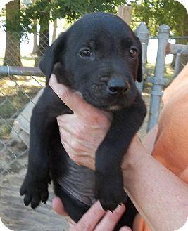Sheltie, Shetland Sheepdog/Labrador Retriever Mix Puppy for adoption in Naugatuck, Connecticut - Bobby
