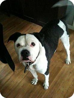 American Bulldog/Mastiff Mix Dog for adoption in Chilliwack, British Columbia - CAPONE