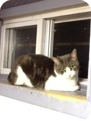 Domestic Shorthair Cat for adoption in bloomfield, New Jersey - Mindy