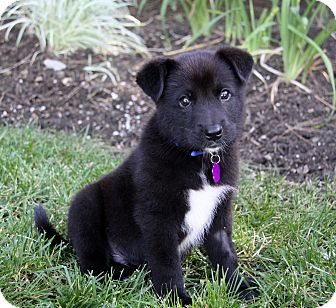 Labrador Retriever Mix Puppy for adoption in Newport Beach, California - KARL