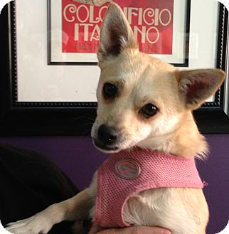 Chihuahua Mix Dog for adoption in Thousand Oaks, California - Sienna