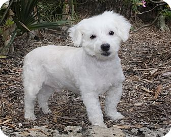 Poodle (Miniature)/Maltese Mix Dog for adoption in North Palm Beach, Florida - Buddy