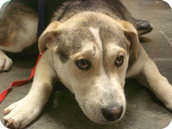 German Shepherd Dog/Husky Mix Puppy for adoption in Greencastle, North Carolina - Santana