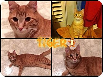 Domestic Shorthair Cat for adoption in Washington, D.C. - Tiger