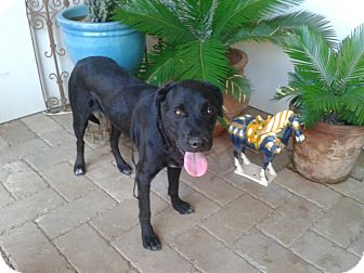Labrador Retriever Dog for adoption in Scottsdale, Arizona - Harley