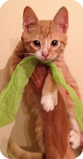 Domestic Shorthair Kitten for adoption in Winston-Salem, North Carolina - Angel