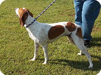 Hound (Unknown Type) Mix Dog for adoption in Boston, Massachusetts - Blossom