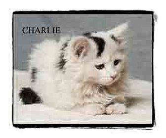 Domestic Longhair Kitten for adoption in Warren, Pennsylvania - Charlie